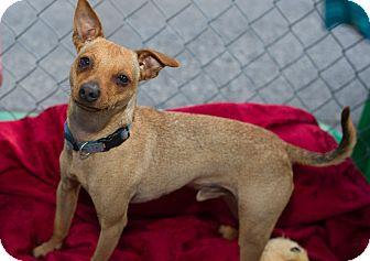 Chihuahua Mix Dog for adoption in Fallbrook, California - Milo