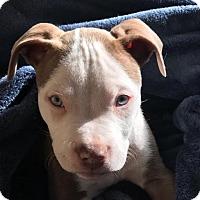Adopt A Pet :: Chase - Dallas, GA
