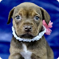 Adopt A Pet :: Daisy - Picayune, MS