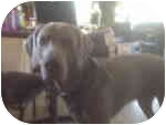Weimaraner Dog for adoption in Eustis, Florida - Siggy