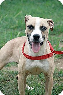 American Pit Bull Terrier Mix Dog for adoption in Godfrey, Illinois - August - female