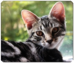 Domestic Shorthair Kitten for adoption in Raritan, New Jersey - Juniper