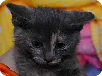 Domestic Shorthair Kitten for adoption in Brooklyn, New York - Meme