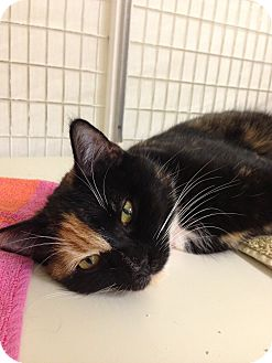 Domestic Shorthair Cat for adoption in Fountain Hills, Arizona - TRIXIE