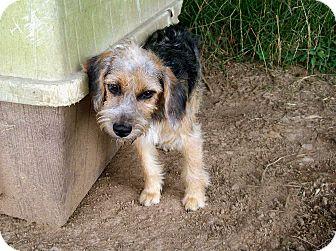 Wirehaired Fox Terrier/Schnauzer (Miniature) Mix Puppy for adoption in ...