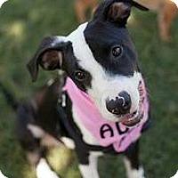Adopt A Pet :: Zeta - Austin, TX