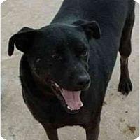 Adopt A Pet :: Ebony - Floresville, TX