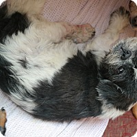Shih Tzu Mix Dog for adoption in San Pablo, California - LUKE