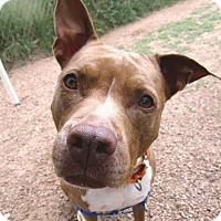 Pit Bull Terrier Mix Dog for adoption in Austin, Texas - Rosie