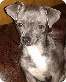 Chihuahua Dog for adoption in Fort Worth, Texas - Tootie