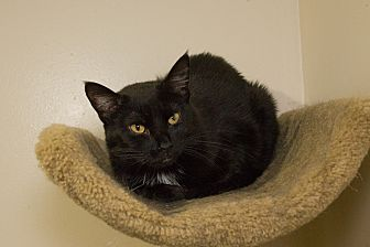 Domestic Shorthair Cat for adoption in Chicago, Illinois - Kahlua