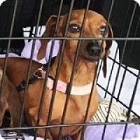 Adopt A Pet :: Lola Yuletide - Houston, TX