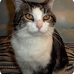 Photo 3 - Domestic Shorthair Cat for adoption in Brookville, Indiana - Sergeant