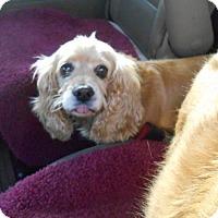 Adopt A Pet :: Sugar -Adopted! - Kannapolis, NC