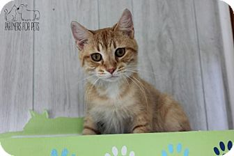 Domestic Shorthair Cat for adoption in Troy, Illinois - Wallaby