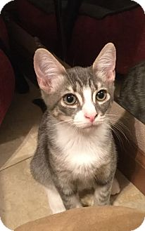 Domestic Shorthair Kitten for adoption in Mooresville, North Carolina - A..  Jojo