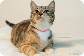 Domestic Shorthair Cat for adoption in Rockport, Texas - Alina