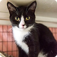 Domestic Shorthair Cat for adoption in Parma, Ohio - Meggy