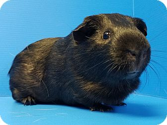 Guinea Pig for adoption in Lewisville, Texas - Bean
