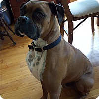 Boxer Dog for adoption in Baltimore, Maryland - Link (COURTESY POST)