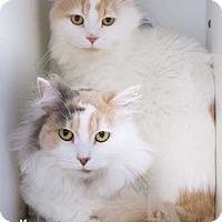 Adopt A Pet :: Ralph - Merrifield, VA