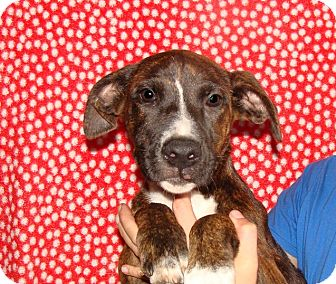 Mastiff/American Bulldog Mix Puppy for adoption in Oviedo, Florida - Sweetpea