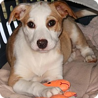 Adopt A Pet :: Tazzie - Rockingham, NH