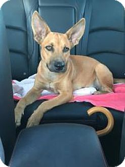 German Shepherd Dog/Doberman Pinscher Mix Puppy for adoption in Houston, Texas - Zoey