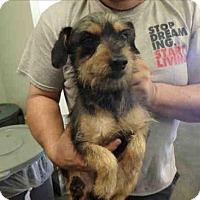 Adopt A Pet :: Scrappy - Encino, CA