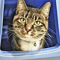 Domestic Mediumhair Cat for adoption in Diamondville, Wyoming - Gizmo