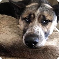 Akita/Husky Mix Dog for adoption in Los Banos, California - Kansas