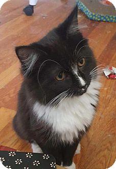 Domestic Shorthair Cat for adoption in Fenton, Missouri - Morgann