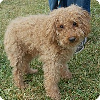 Adopt A Pet :: Goldie - Batavia, OH