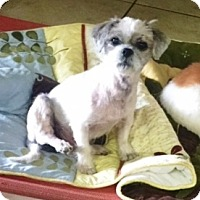 Adopt A Pet :: Teddie Bear - Rancho Cucamonga, CA