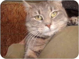 Domestic Shorthair Cat for adoption in Morris, Pennsylvania - Minka