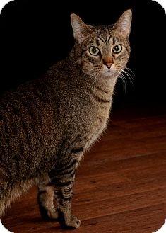 Domestic Shorthair Cat for adoption in Wright City, Missouri - Quinn