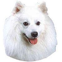 American Eskimo Dog Dog for adoption in Bradenton, Florida - FOSTERS NEEDED