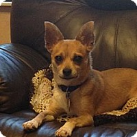 Chihuahua Dog for adoption in Naples, Florida - Chico