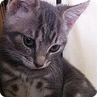 Adopt A Pet :: Cobra - Long Beach, NY