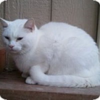 Adopt A Pet :: Snowball - Anchorage, AK