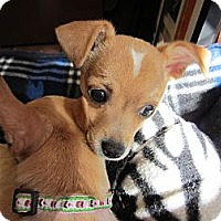 Adopt A Pet :: Cody - 3 lbs-adoption pending - Warwick, NY