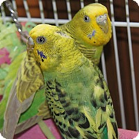 Adopt A Pet :: Budgies - St. Louis, MO