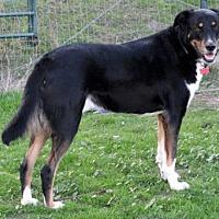 Adopt A Pet :: Carlos companion - Redding, CA