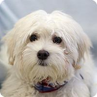 Adopt A Pet :: Chub - Ile-Perrot, QC