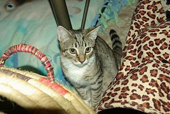 Domestic Shorthair Cat for adoption in Ocala, Florida - Chester (Chessie)