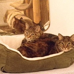 Photo 3 - Domestic Shorthair Cat for adoption in Watkinsville, Georgia - Mo