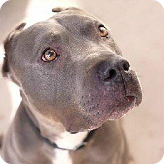 American Pit Bull Terrier Dog for adoption in Santa Monica, California - Magnus