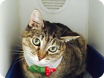 Domestic Shorthair Cat for adoption in Houston, Texas - Celia