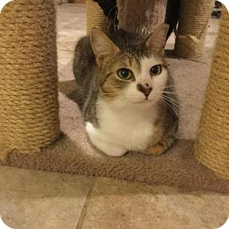 Domestic Shorthair Cat for adoption in Barnegat, New Jersey - Penny Lane