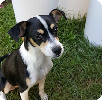 Chihuahua/Jack Russell Terrier Mix Dog for adoption in Barnesville, Georgia - Lily Belle